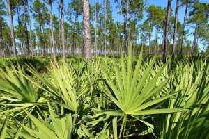 Saw palmetto - Serenoa repens