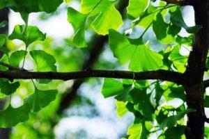 Ginkgo biloba - jinan dvoulaločný