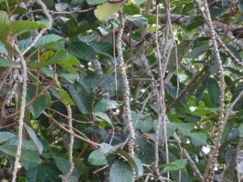 Guduchi - Tinospora cordifolia