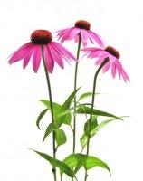 Echinacea purpurea - Třapatka