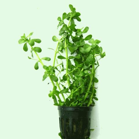 Bacopa monnieri - Brahmi živé rostliny