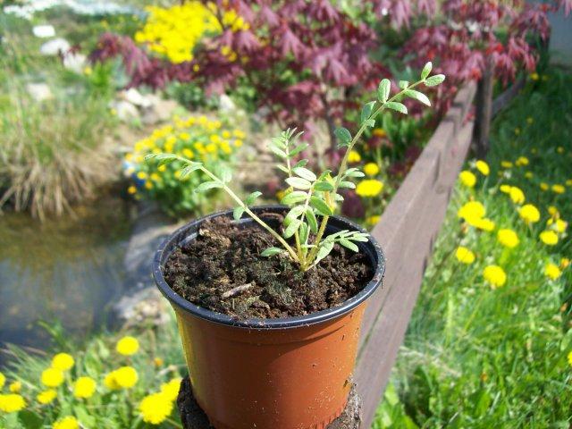 Kotvičník zemní - živé rostliny