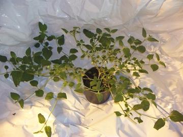 Lippia dulcis - aztécký cukr živé rostliny