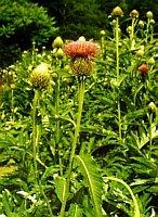 Maral - živé rostliny