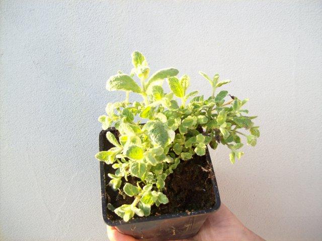 Máta ananasová - živé rostliny