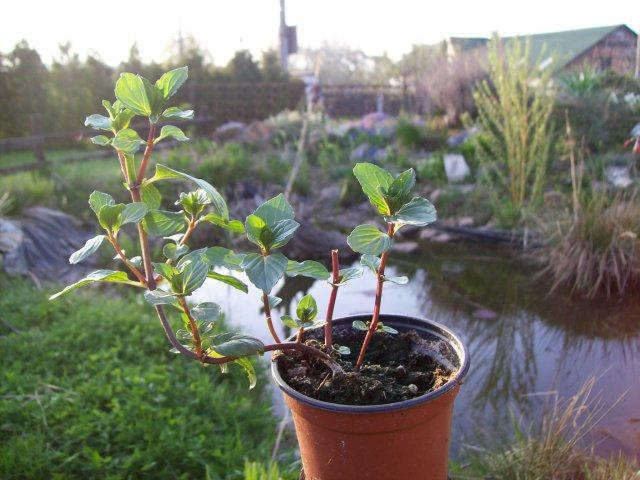 Máta black - mint - živé rostliny