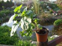 Máta citrónová - živé rostliny