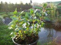 Máta čokoládová - živé rostliny