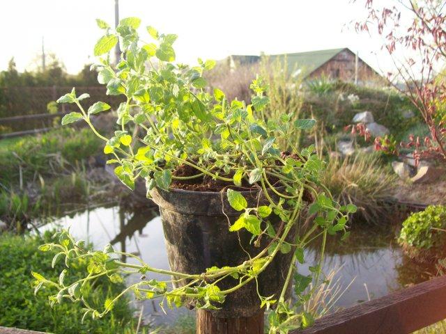 Máta jahodová - živé rostliny