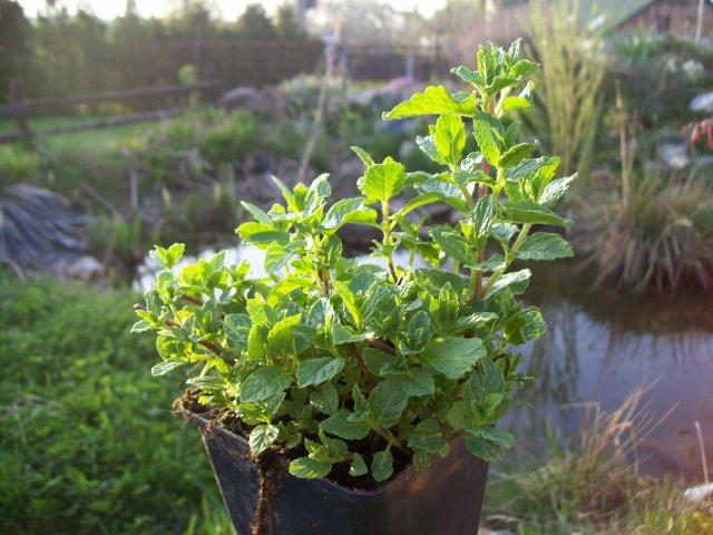 Máta mojito - živé rostliny