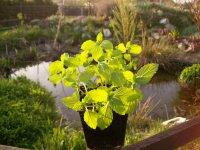 Máta švýcarská - živé rostliny