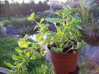 Máta zázvorová - živé rostliny