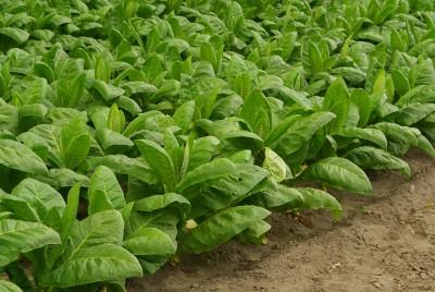 Tabák Havana - Nicotiana tabaccum semena