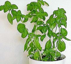 Bazalka posvátná - Tulsí živé rostliny